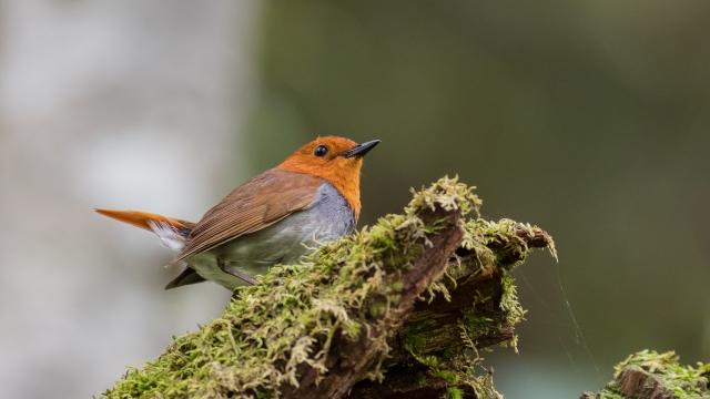 soku_36604.jpg :: 動物 鳥 野鳥 自然の鳥 コマドリ