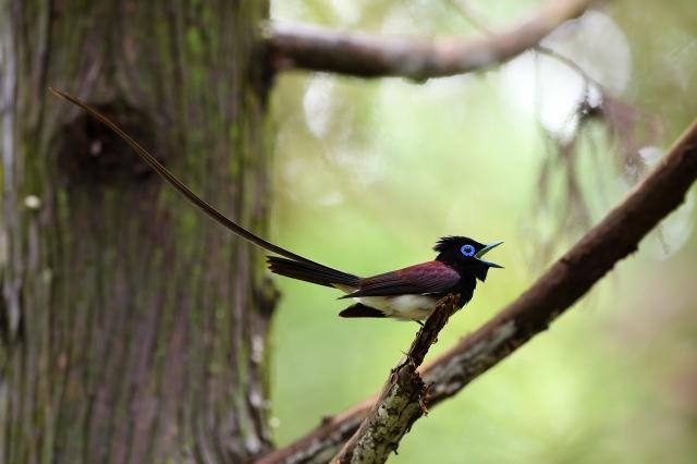 soku_36609.jpg :: 動物 鳥 野鳥 自然の鳥 サンコウチョウ
