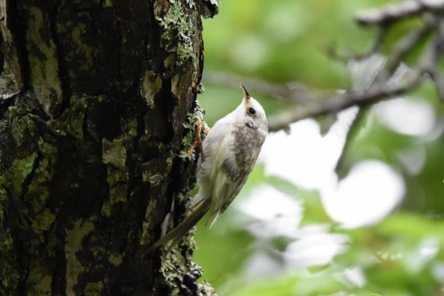 soku_36615.jpg :: 動物 鳥 野鳥 自然の鳥 キバシリ