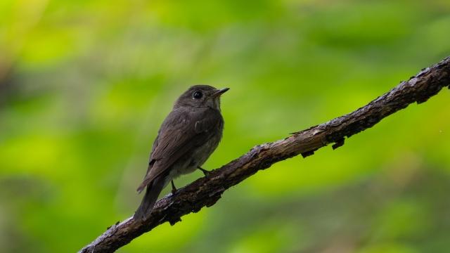 soku_36617.jpg :: 動物 鳥 野鳥 自然の鳥 サメビタキ