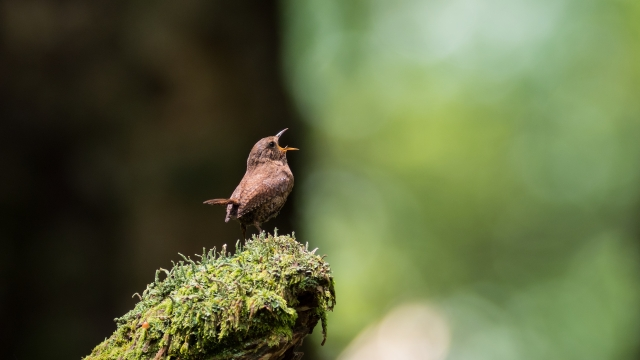 soku_36618.jpg :: 動物 鳥 野鳥 自然の鳥 ミソサザイ