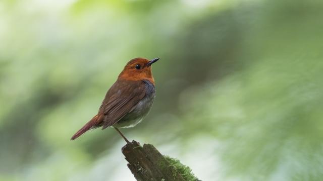 soku_36622.jpg :: 動物 鳥 野鳥 自然の鳥 コマドリ