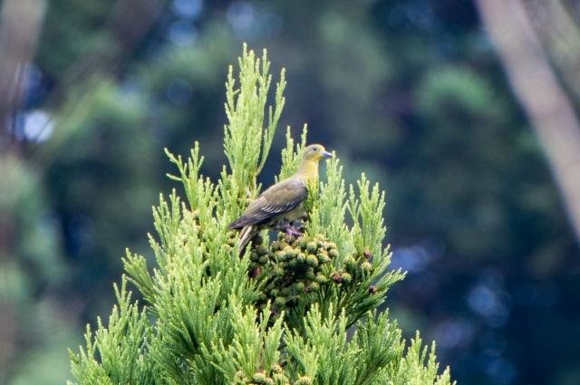 soku_36626.jpg :: アオバト 動物 鳥 野鳥 自然の鳥