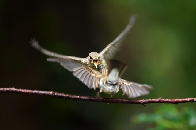 soku_36628.jpg :: 動物 鳥 野鳥 自然の鳥 キビタキ幼鳥
