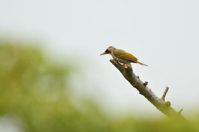soku_36631.jpg :: 動物 鳥 野鳥 自然の鳥 アオゲラ