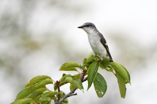 soku_36632.jpg :: 動物 鳥 野鳥 自然の鳥 サンショウクイ