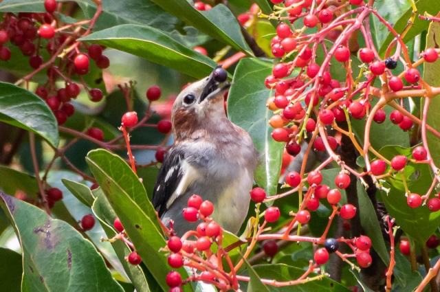 soku_36641.jpg :: 動物 鳥 野鳥 自然の鳥 コムクドリ