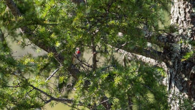 soku_36654.jpg :: 動物 鳥 野鳥 自然の鳥 ノゴマ
