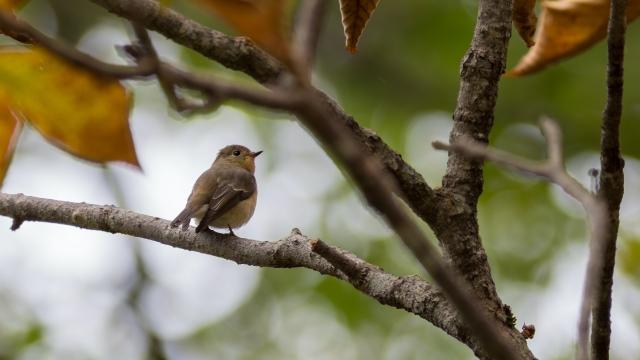 soku_36659.jpg :: 動物 鳥 野鳥 自然の鳥 ムギマキ