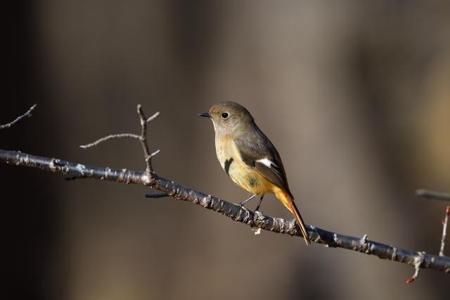 soku_36677.jpg :: 動物 鳥 野鳥 自然の鳥 ジョウビタキ