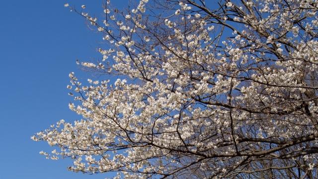 soku_36689.jpg :: 植物 花 桜 サクラ