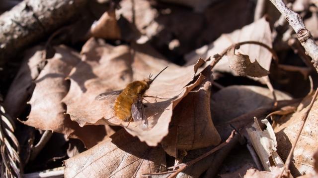 soku_36691.jpg :: 動物 虫 昆虫 アブ ビロードツリアブ