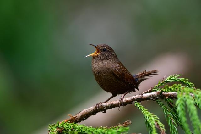 soku_36718.jpg :: 動物 鳥 野鳥 自然の鳥 ヤブサメ