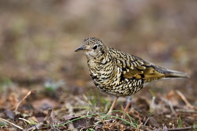 soku_36725.jpg :: 動物 鳥 野鳥 自然の鳥 トラツグミ
