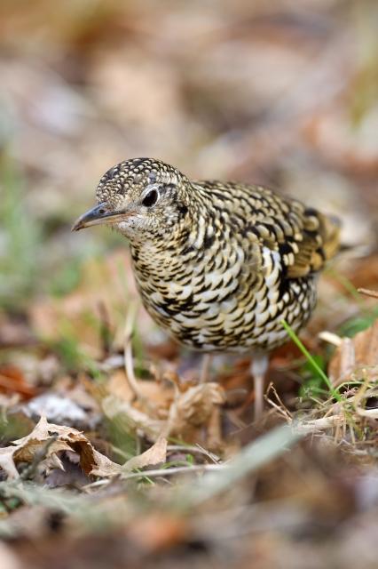 soku_36726.jpg :: 動物 鳥 野鳥 自然の鳥 トラツグミ