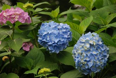 soku_00001.jpg :: 植物 花 紫陽花 アジサイ