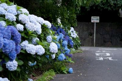 soku_00036.jpg :: 植物 花 紫陽花 あじさい