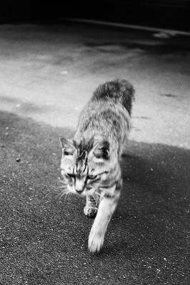 soku_00136.jpg :: 動物 哺乳類 猫 ネコ 白黒 モノクロ
