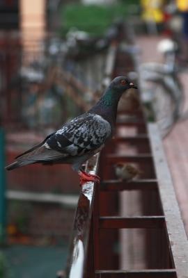 soku_00446.jpg :: 動物 鳥類 鳩 ハト ドバト カワラバト