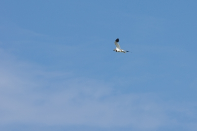soku_00632.jpg :: 動物 鳥類 空 ケリ