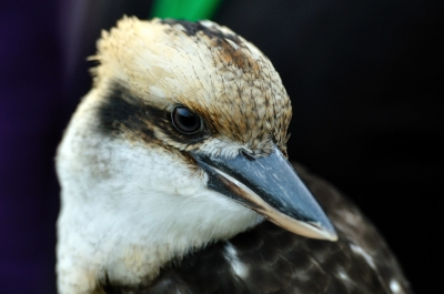 soku_00819.jpg :: 鳥 ワライカワセミ 動物 鳥類