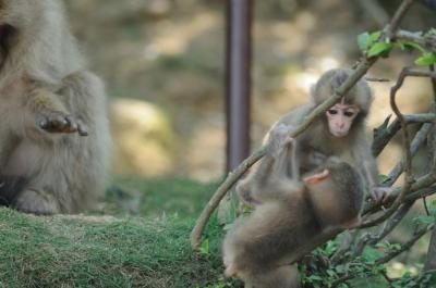 soku_00863.jpg :: 動物 猿 小猿 赤ちゃん つた 嵐山モンキーパークいわたやま