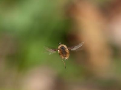 soku_00874.jpg :: 虫 羽 蜂 飛ぶ 緑色 茶色 アブ