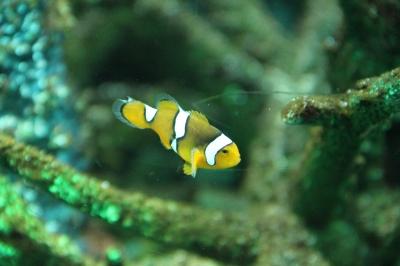 soku_00939.jpg :: 動物 魚類 熱帯魚 クマノミ