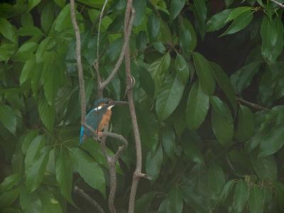 soku_01015.jpg :: 動物 鳥類 カワセミ 川蝉