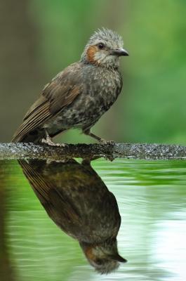 soku_01156.jpg :: 動物 鳥類 ヒヨドリ 水面