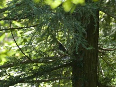 soku_01349.jpg :: 鳥 杉 クロツグミ 動物 鳥類