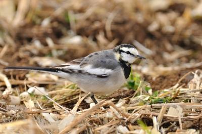 soku_01389.jpg :: 鳥 ハクセキレイ 動物 鳥類
