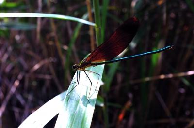 soku_01439.jpg :: 虫 昆虫 蜻蛉 トンボ ハグロトンボ アオハダトンボ