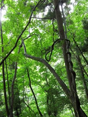 soku_01454.jpg :: ν速公認コンデジPowerShotS95 森 木 つた 緑