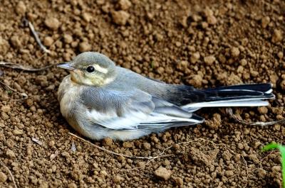 soku_01534.jpg :: 鳥 ハクセキレイ 動物 鳥類