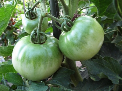 soku_01640.jpg :: 野菜 トマト 青い
