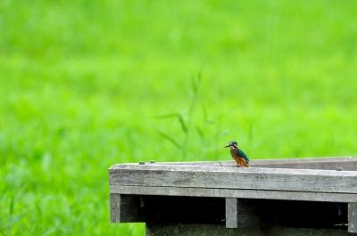 soku_01703.jpg :: 鳥 川蝉 カワセミ 動物 鳥類