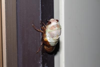 soku_01775.jpg :: 昆虫 蝉 セミ アブラゼミ 羽化 K.7