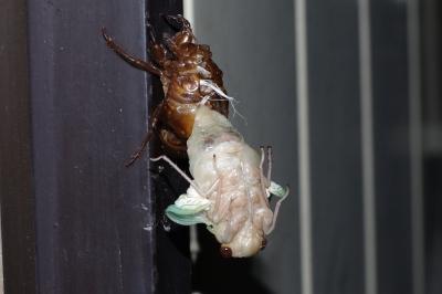 soku_01777.jpg :: 昆虫 蝉 セミ アブラゼミ 羽化 K.7
