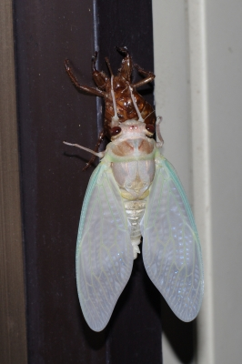 soku_01778.jpg :: 昆虫 蝉 セミ アブラゼミ 羽化 K.7