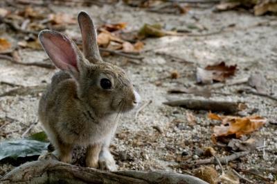 soku_02056.jpg :: 動物 哺乳類 兎 ウサギ
