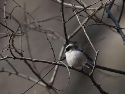 soku_02281.jpg :: 動物 鳥類 エナガ