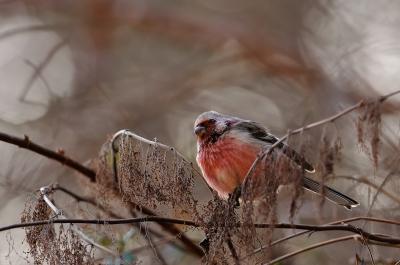 soku_02290.jpg :: 動物 鳥類 ベニマシコ