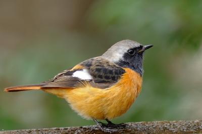 soku_02297.jpg :: 動物 鳥類 ジョウビタキ ♂ オス