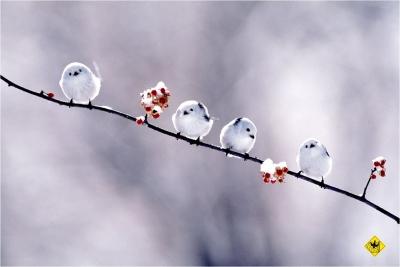 soku_02311.jpg :: 動物 鳥類 シマエナガ