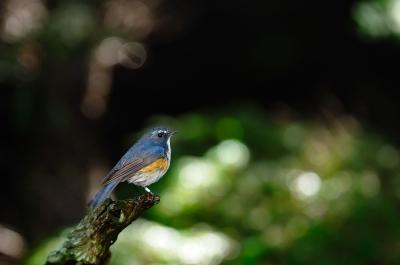 soku_02496.jpg :: 動物 鳥類 ルリビタキ