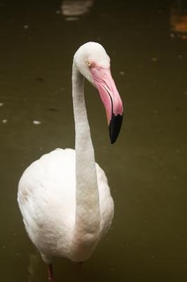 soku_02539.jpg :: 動物 鳥類 ペリカン 長崎バイオパーク フラミンゴ
