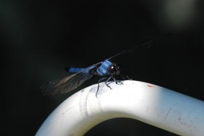 soku_02613.jpg :: 動物 昆虫 蜻蛉 トンボ
