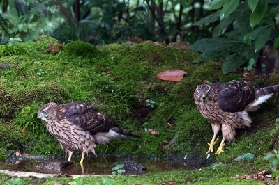 soku_02938.jpg :: 動物 鳥類 オオタカ