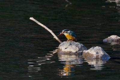soku_03098.jpg :: カワセミ 鳥 川蝉